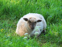 Resting white sheep stock photography