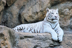 Resting white tiger. White Tiger resting on a rock royalty free stock image