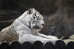 Resting white tiger. White bengal tiger dozed on a hot day, sticking his tongue Royalty Free Stock Photos