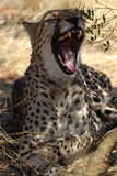 Resting wild African Cheetah in the savannah of Namibia Stock Photo