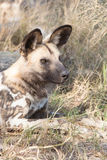 Resting wild dog Stock Image