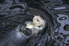 Resting Wild Sea Otter Royalty Free Stock Photos