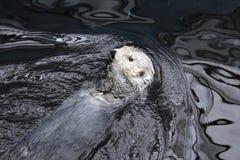 Resting Wild Sea Otter Royalty Free Stock Photo