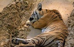 Resting wild tigress Royalty Free Stock Photos