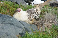 A resting wild Turkey hen in Spain. A resting white turkey hen on the island Fuerteventura one of the Canarian island belonging to Spain in the Atlantic Ocean Stock Photos