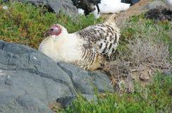 A resting wild Turkey hen in Spain Stock Photos