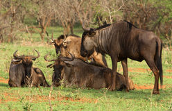 Resting Wildebeest stock images