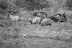 Resting Wildebeest Stock Photos