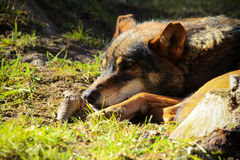 Resting wolf stock image