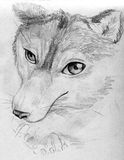 Resting wolf sketch Stock Images