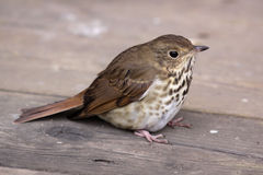 Resting Wood Thrush Stock Photos