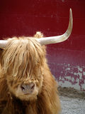 Resting Yak Stock Images