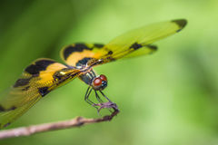 Resting yellow-black dragonfly Stock Images