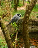 Resting Yellow Crowned Night Heron. Near pond Royalty Free Stock Images