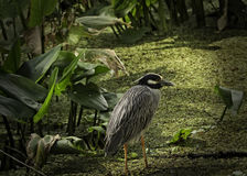 Resting Yellow Crowned Night Heron. A yellow crowned night heron rests in a swamp in Southwest Florida Royalty Free Stock Photography