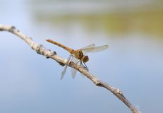Resting yellow dragonfly Stock Photos