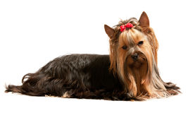 Resting yorkshire terrier Royalty Free Stock Photos