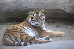 Resting young Amur tiger, Panthera tigris altaica Royalty Free Stock Image