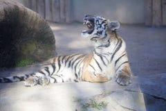 Resting young Amur tiger, Panthera tigris altaica Stock Image