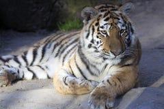 Resting young Amur tiger, Panthera tigris altaica Stock Photography