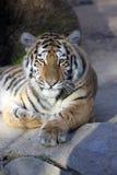 Resting young Amur tiger, Panthera tigris altaica Stock Photos