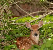Resting young fawn in a ivy patch Royalty Free Stock Image