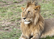 Resting young male lion in the Masai Mara National Stock Images