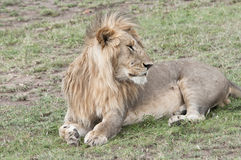 Resting young male lion in the Masai Mara National Royalty Free Stock Photo