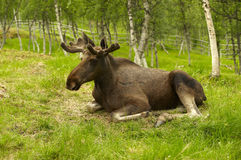 Resting young male moose. Young male moose resing in a green field Stock Photos