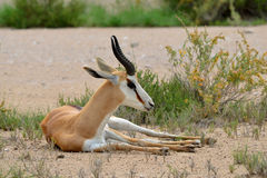 Resting young springbok antelope. Antelope in Etosha national park in Namibia Stock Photo