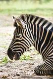 Resting zebra Stock Photos