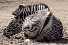 Resting zebra Stock Photography