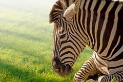 Resting Zebra Royalty Free Stock Photo