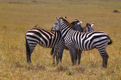 Resting Zebra - Safari Kenya. Three resting zebras, that are relaxing themselves,  in Kenya Royalty Free Stock Images