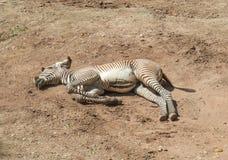 Resting zebra un the ground Stock Image