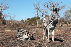 Resting zebras. Two zebras in a natural landscape of dry grass and blue sky Royalty Free Stock Image