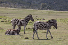 Resting zebras Royalty Free Stock Images