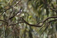 Restless Flycatcher (Myiagra Inquieta). Restless Flycatcher, Barmah National Park, Victoria stock photo