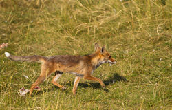 A restless Red Fox passing by Royalty Free Stock Photo