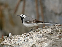 Restless wagtail. The wagtail concerned for safety of the nestlings Royalty Free Stock Photos
