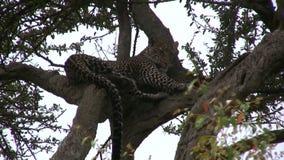 Restng леопарда на ветви видеоматериал
