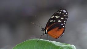Resto bonito da borboleta na folha verde, fundo do borrão