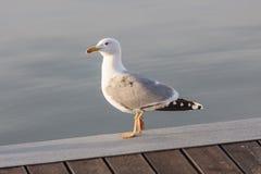 Resto da gaivota na praia Fotos de Stock