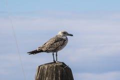 Resto da gaivota no mar Foto de Stock Royalty Free