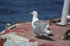 Resto da gaivota no porto imagens de stock