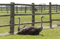 Resto de avestruces Fotos de archivo libres de regalías