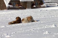 Resto de dois cães na neve Imagem de Stock Royalty Free