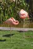 Resto de dois flamingos ao equilibrar em um pé Imagens de Stock Royalty Free