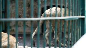 Resto de dos leonas dentro de la jaula detrás del enrejado verde metrajes