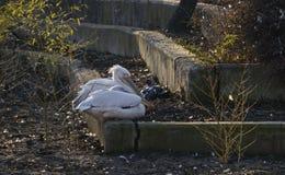 Resto de dos de los amantes onocrotalus de los pelícanos blancos o del Pelecanus en la orilla Imagen de archivo